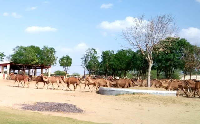 Camel research center at Bikaner