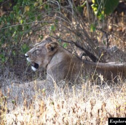 guide to Lion safari in Gir forest