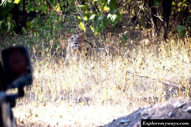 Lion Safari in Gir National Park