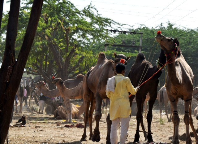 Different breed of camel in Pushkar fair
