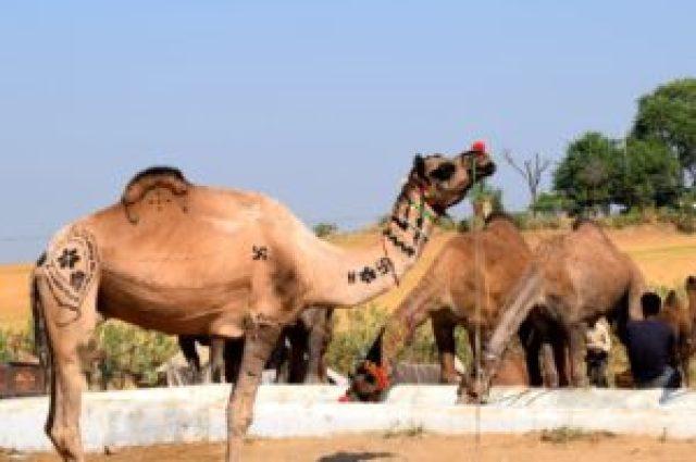 pattern on Camel body Pushkar fair