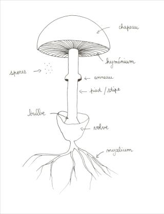 schéma champignon volve mycélium bulbe stipe pied anneau hyménium chapeau