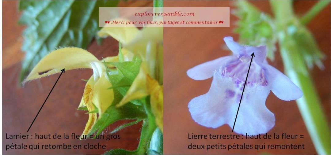 différence entre fleur du lamier et du lierre terrestre