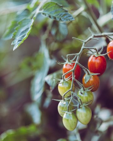 What to plant in a keto garden, Ripening tomatoes