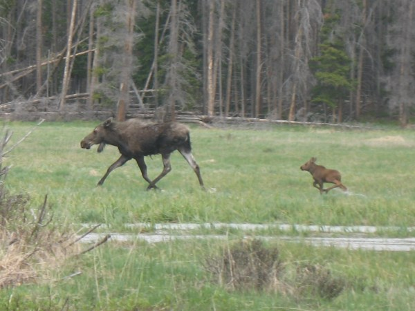 Momma and baby moose, things to do in Grand Lake, Colorado