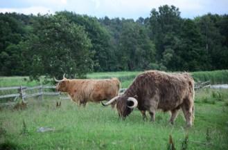 Oxen in Västra Frölunda.