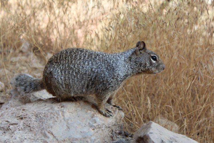 Rock Squirrel at Grand Canyon