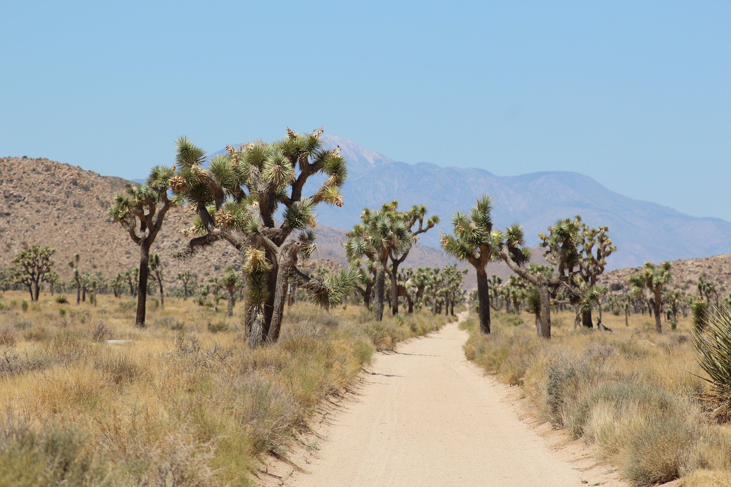 Joshua Trees along Queen Valley Road