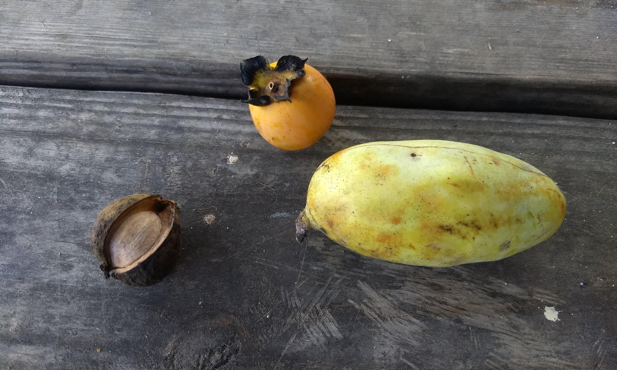 Persimmon, Paw paw, and Hickory Nut - 9/2019