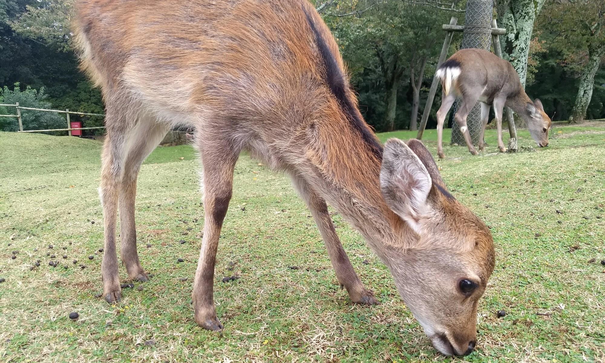 Nara little deer - 10-26-2019