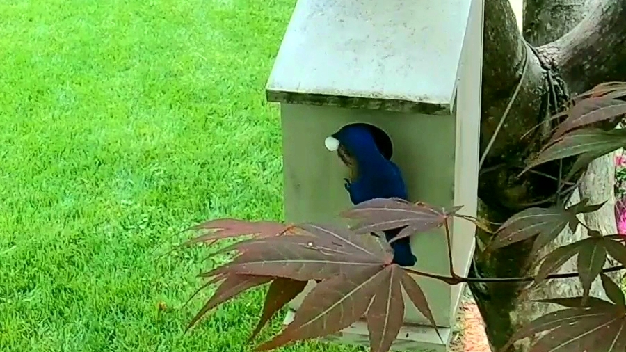 Male bluebird at the nest box - 5-21-2020