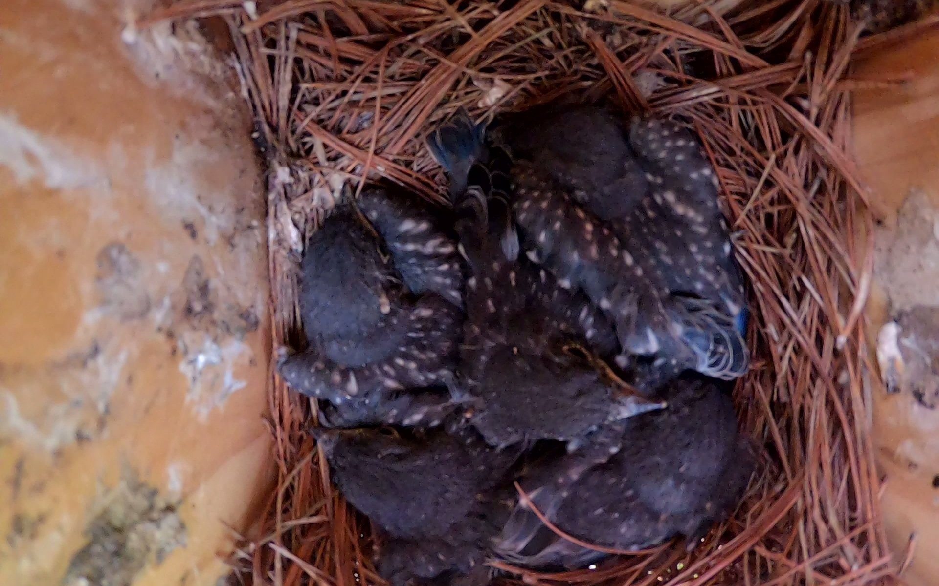 Five Bluebird fledglings inside nestbox - 5-25-2020