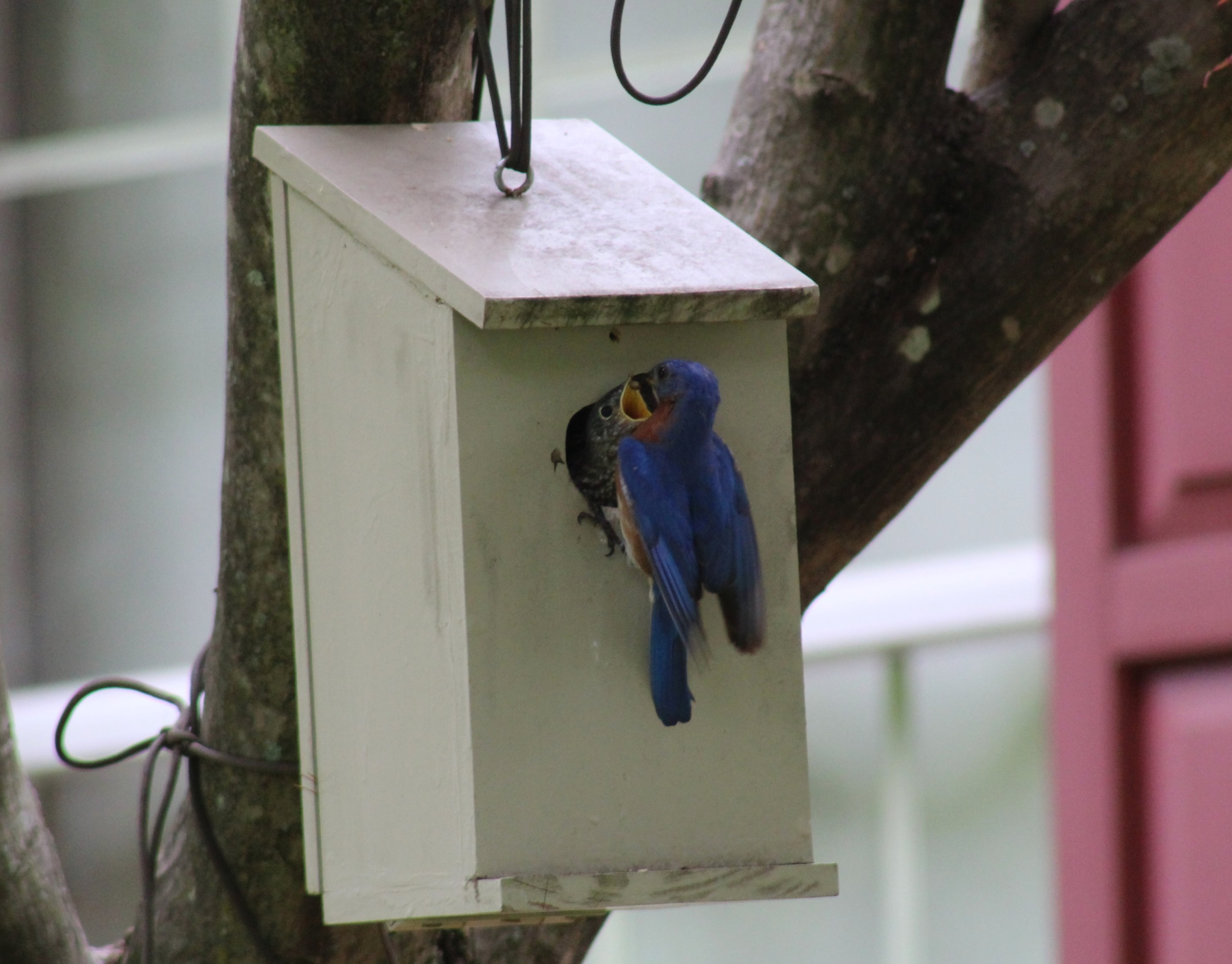 Bluebird fledgling and adult male feeding - 5-25-2020