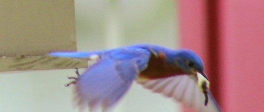Male Bluebird flying with fecal sac - 5-25-2020