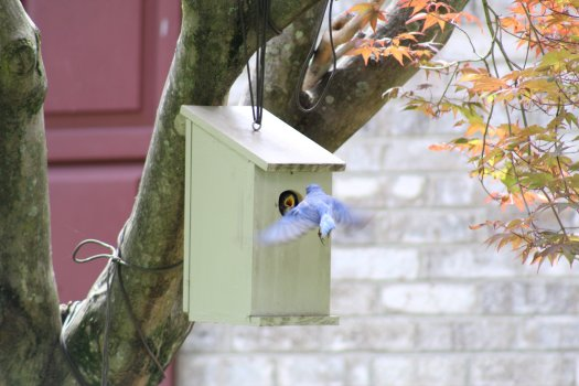 Male bluebird arriving at nestbox with food - 5-25-2020