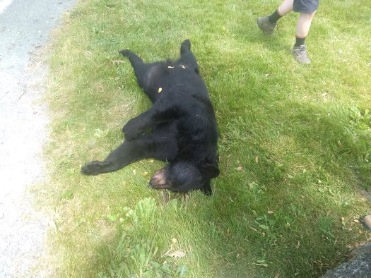 Black bear roadkill - 06-14-20
