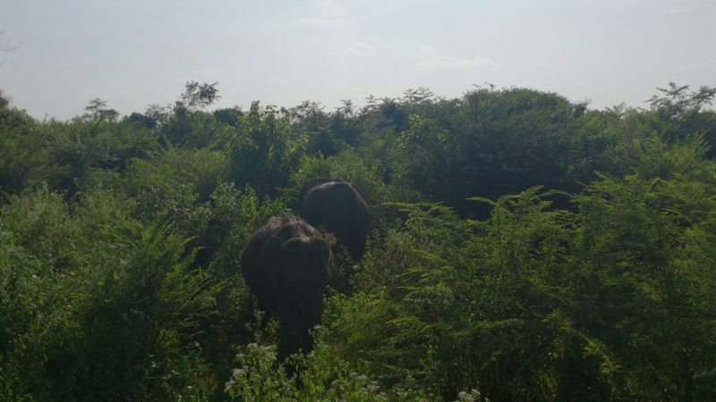 Asian Elephants at Udawalawe National Park