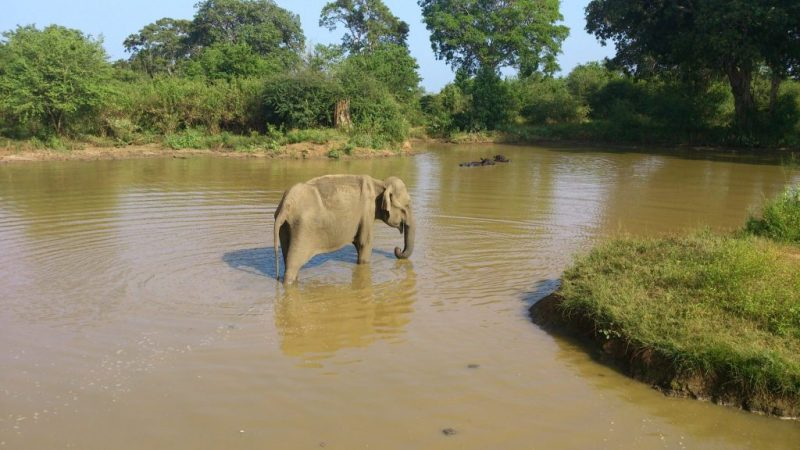 An Asian Elephant is having a bath
