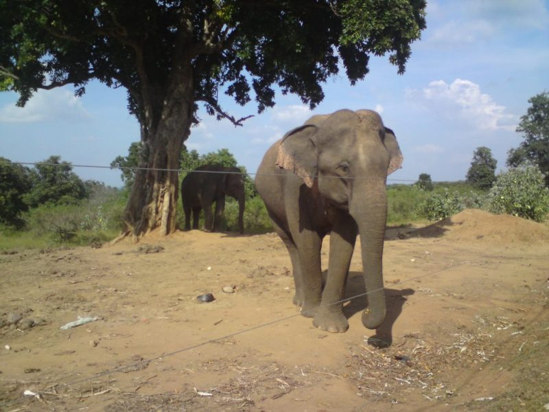 Elephant Behind the electric fence