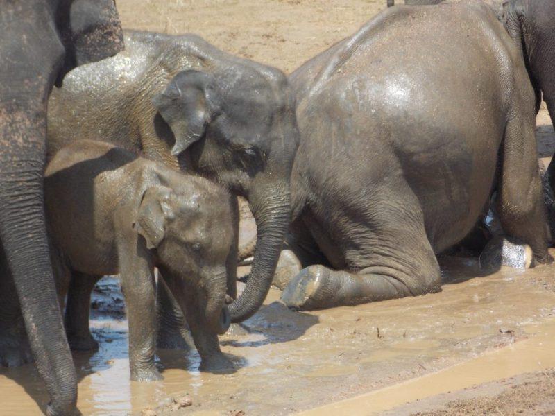 Mud Bathing Herd of Asian Elephants