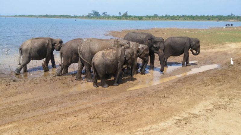 Mud Bathing Elephants