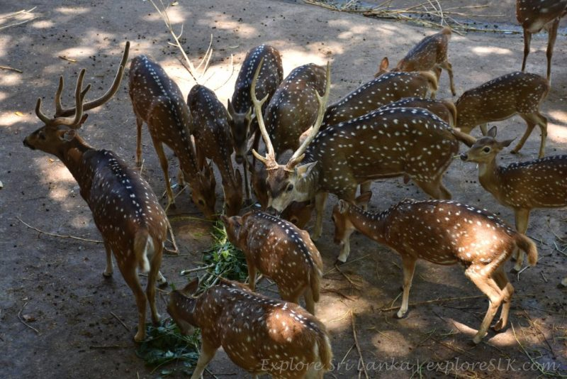 a herd of deers eating