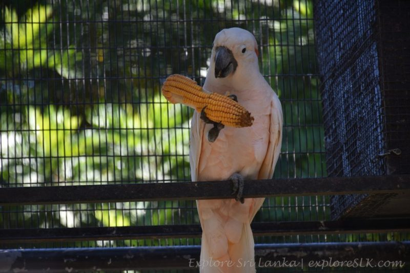 A Cockatoo is eating a Corn