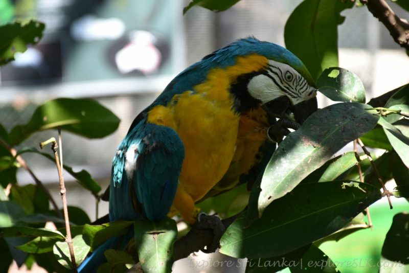 Colorful Macaws at Dehiwala Zoo