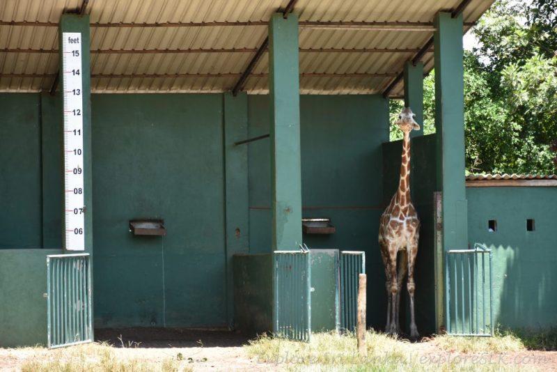 scale for giraffes