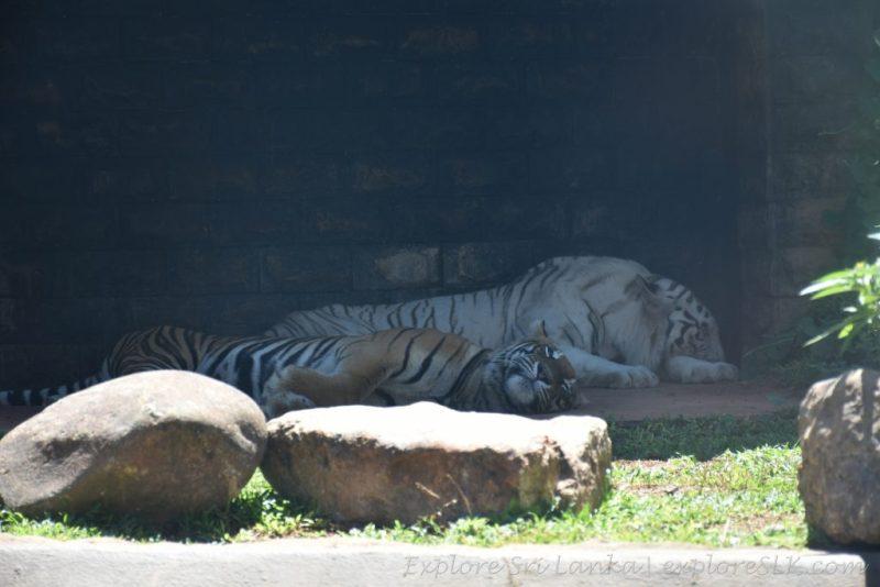 Tigers at Dehiwala Zoo
