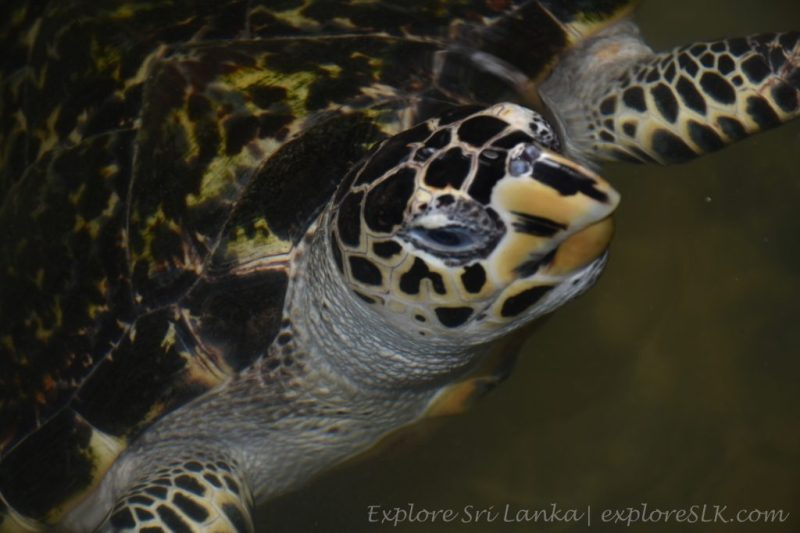 Hawksbill sea turtle in a Hatchery