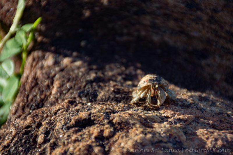 Hermit Crab on rock