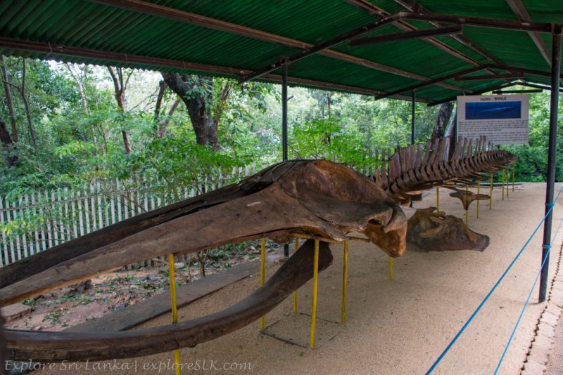 Skeleton of a Whale