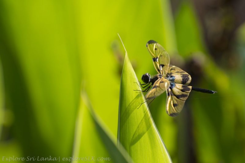 Vivid Dragonfly