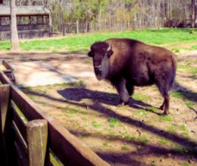 Bison at Dauset Trails