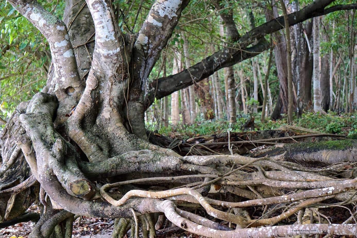 philippines jungle tree