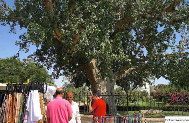 sycamore tree in ancient israel