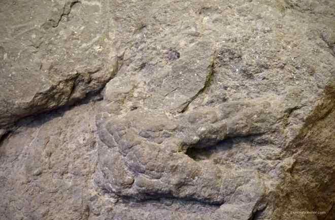 Denali Theropod Track