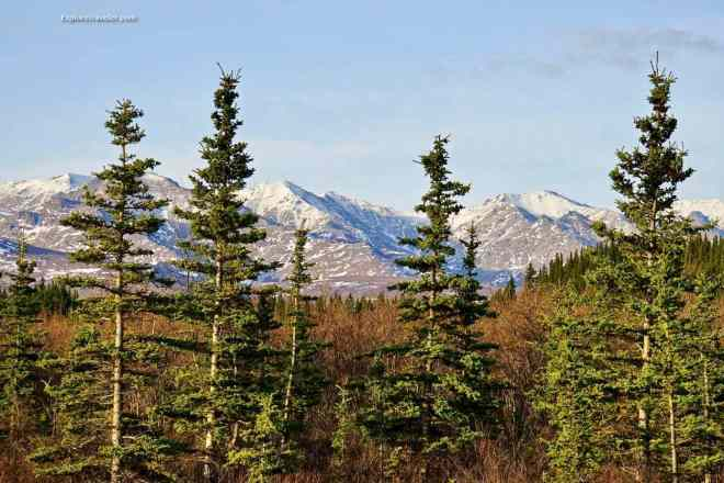 Mountains and trees of Denali National Park