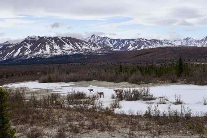 Mountain and grass plains of Denali National Park