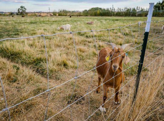 Goat at Cloudview Farms