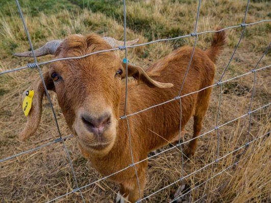 Goat at Cloudview Farm