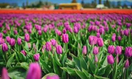 Welcome Spring at the Skagit Valley Tulip Festival