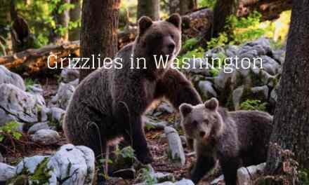 Grizzlies in Washington