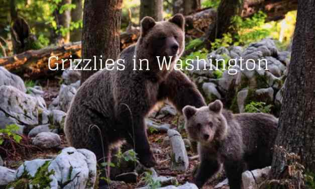 Grizzlies in Washington
