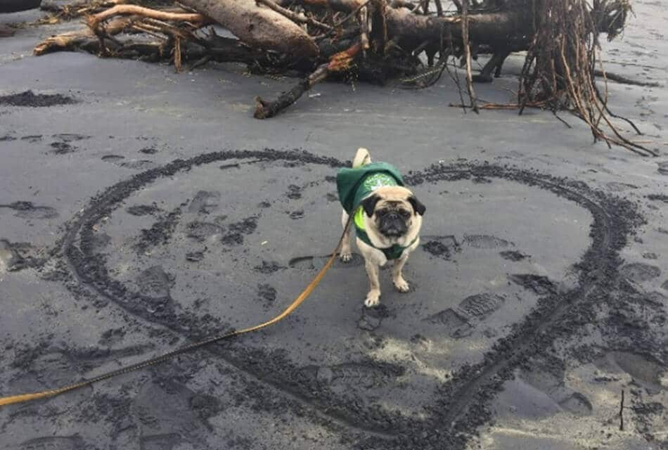 Pug on Beach in Sand