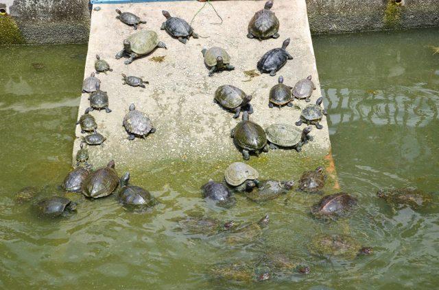 turtles in Kek Lok Si
