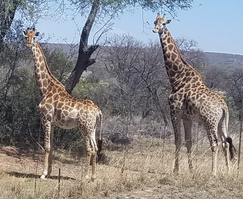 Giraffes in Africa by Explore with Nola