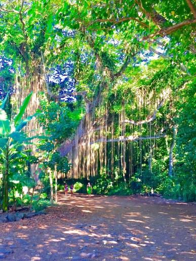 An imposter Banyan tree, Maui (Priyanka Upadhyay)