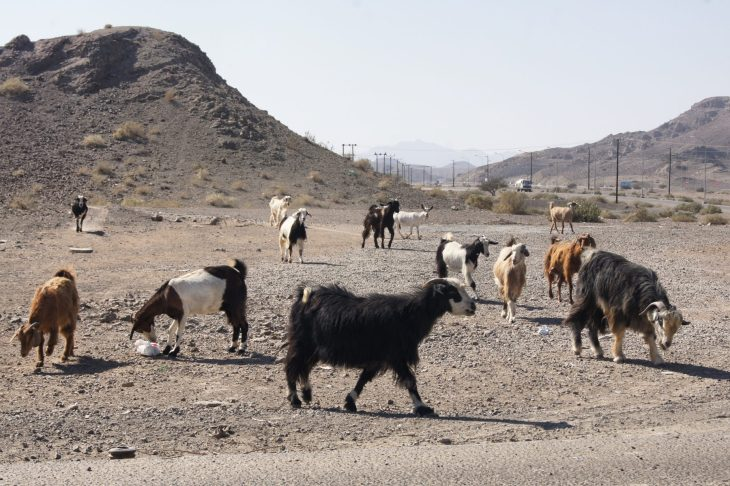 animals oman